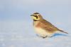Alouette hausse-col - Horned lark - Eremophila alpestris (Maxime Legare-Vezina) Tags: bird oiseau nature wild wildlife animal fauna ornithology biodiversity canon winter hiver snow neige