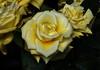 DSC_4251 (PeaTJay) Tags: nikond750 reading lowerearley berkshire macro micro closeups gardens indoors nature flora fauna plants flowers rose roses rosebuds