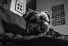 016_20170116 (Steve Dommer) Tags: dog blackandwhite contrast filmgrain