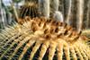 _DSC2687 Barrel Cactus (Charles Bonham) Tags: matthaeibotanicalgardens annarbor conservatory cactus barrelcactus sonya7r charlesbonhamphotography sonyzeiss55mmf18lens spines