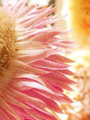 Waves of Petals (Steve Taylor (Photography)) Tags: art digital brown highkey white yellow pink pastel orange closeup macro flower bokeh petals dried driedflowers