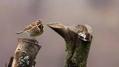 Reed Bunting on the lookout (Mark Illand) Tags: reed bunting rspb lochwinnoch nature photography bird birds wildlife animal scotland sony alpha sonyalphadslr a77 minolta 300mm f4