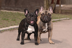 Franch bulldogs (GrasePhoto.) Tags: franchbulldog outdoor two black smile nose ears stand purebred dog pet looking puppies grass look pair stripped tongue tooth attantive concentrate cute funny asphalt path walk squinteyed crosseyed friend park