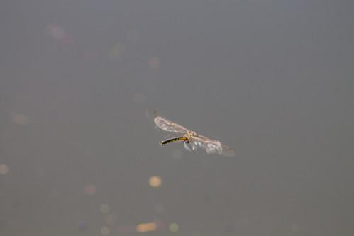 Dragonfly (Sparx!)