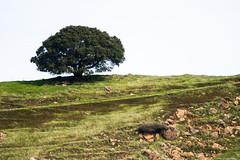 Castle Rock Regional Rec Area (*bvogt*) Tags: oak tree castle rock state park