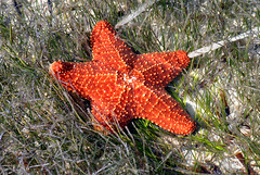 CUSHION STAR (concep1941) Tags: coral sand shallowwaters seastarclass seagrassbottoms