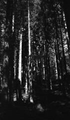 Sunlit trees Queen Elizabeth Forest Park Silvermax Pyrocat HD (Man with Red Eyes) Tags: film monochrome analog zeiss 35mm scotland blackwhite epson pyro leicam2 aberfoyle homedeveloped semistand queenelizabethforestpark presoak adox forestrycommission silverhalide 70f sunnysixteen pyrocathd 5mins v850 forestholidays 18mins silvermax distagont1435zm