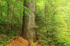 Floodwood Loop Big Trees III (DavetheHiker) Tags: trees ny newyork nature forest outdoors outdoor hiking adirondacks trail upstatenewyork adk whitepine pinusstrobus franklincounty adirondackpark largetrees easternwhitepine saintregiscanoearea adirondackregion floodwoodloop floodwoodtrail saranaclakeswildsforest