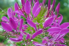 Spider Flower (Distant Hill Gardens) Tags: annual spiderplant cleome cutflower spiderflower violetqueen cleomehassleriana violetqueencleome