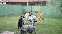 DSC03105 (agorayebm) Tags: dog bordercollie dalmatian fila crick dlmata filabrasileiro