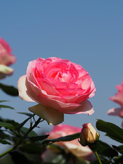 Rose, Pierre de Ronsard, ,   , (T.Kiya) Tags: rose  pierrederonsard