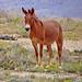 Navajo Nation Mule 9-15