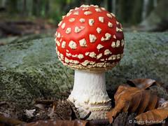 Fly Agaric (Roger B.) Tags: autumn mushroom unitedkingdom fungi fungus toadstool amanitamuscaria amanita barnsley flyagaric southyorkshire wombwellwood