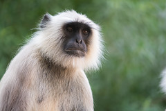 Langoor (SharmaPunit) Tags: wild india monkey wildlife triste ancestor langoor
