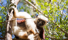 LEMUR-PARK-25 (RAFFI YOUREDJIAN PHOTOGRAPHY) Tags: park city travel trees plants baby white cute green animal fauna canon river jumping sweet turtle wildlife bricks mother adorable adventure explore lemur 5d lemurs bushes madagascar 70200 antananarivo mkiii
