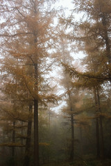 Lariksen in de mist (MJ Klaver) Tags: autumn mist fall nature fog herfst 24mm larch bos lariks primelens canonefs24mmf28stm