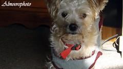 diesel 010 (almoorephoto) Tags: dog cute animal friend bark