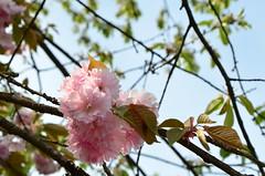 DSC_8794 (aktarian) Tags: roža rože flower flowers cvetenje bloom spring pomlad
