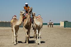doha camel race (25) (Parto Domani) Tags: animal animals race radio robot corse arabic east camel arab oriente practice middle peninsula medio animali animale  doha qatar corsa arabica cammello  arabo penisola dromedario araber     cammelli  dromedari