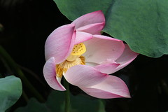 Nelumbo nucifera/Lotus/ 6723 (Petr Novk ()) Tags: china plant flower asia lotus asie    guangxi liuzhou   nelumbonaceae  lotos nelumbo   rostlina  nelumbonucifera na
