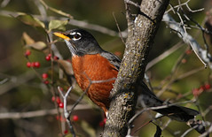 Morning Robin (jrussell.1916) Tags: trees red orange nature birds morninglight berries wildlife americanrobin shawneemissionpark canon400mmf56lusm