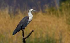 White-necked Heron - Ardea pacifica-4887 (rawshorty) Tags: birds australia canberra act rawshorty