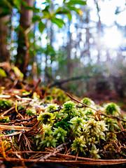 Off the Beaten Path (reclaimednj) Tags: 2016 forest moss sphagnum nj wetland forestedwetlands forestedhabitat swamp cedarswamp pinelands pinebarrens pinelandsflora bassriverstateforest oceancounty