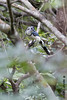White-throated Magpie Jay (xrpo) Tags: costa rica bird wildlife jay national park rincon rincondelavieja whitethroated magpie