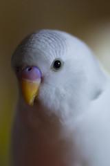 Budgie portrait (matt j fryer) Tags: a7r parrot bird budgerigar distagon sony queensland australia brisbane petphotography