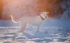 Graceful Lady (Shanaro) Tags: dog pets animals puppy cute white shepherd golden labrador retriever nature snow winter cold ice bokeh sunset dusk beautiful magical meadow running elegance orange sun light snowy canon 700d 135mm l agile