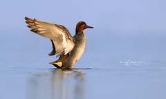 Eurasian teal (Wasif Yaqeen) Tags: eurasianteal commonteal comonteal teal nature wildlife birds birdsofpakistan pakistanwildlife wildlifeofpakistan animals pakistannature wasifyaqeen wasif animalplanet nationalgeographic outdoor birdsinnaturalhabitat birdshabitat pakistan wasifyaqeenphotography