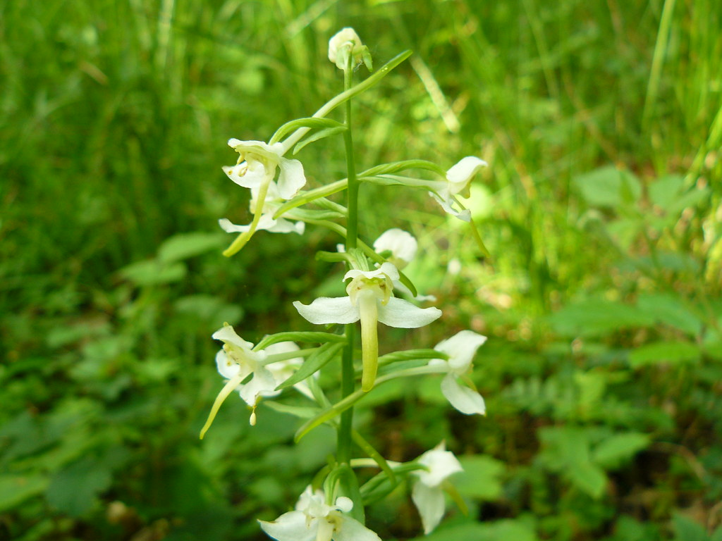 Platanthera bifolia ssp. latiflora-1