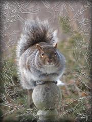 Squirrel looking in my window (Koko Nut, it's all about the frame) Tags: squirrel frost post critter winter window wildlife frame cutie cute koko kokonut wonder