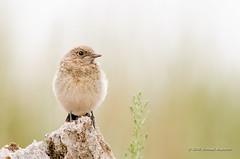 Redstart (Esmaeel Bagherian) Tags: دمسرخ نیکون تامرون اسماعیلباقریان پرندگانایران پرندگان پرندهنگری پرنده 1395 2016 esmaeelbagherian bird birdsofiran birdwatching birds redstart nikon nikond7000 tamron tamron150600 birdwatcher