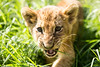 Portrait of lion cub (korzun) Tags: aggressive angry animal attack attacker attacking baby bigears closeup cub face greengrass lion lionet little mammal nice portrait predator russia small sweet taigan wild wildlife young zoo