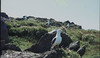 Lesser black backs, Spy Rock, 1979 (Mary Gillham Archive Project) Tags: 1979 bird landscape larusfuscus lesserblackbackedgull sm73950486 skokholmisland wales 2353 island