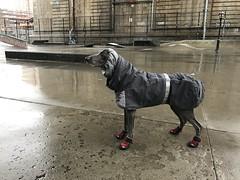 Skate park (VanaTulsi) Tags: vanatulsi weim weimaraner dog blueweim blueweimaraner