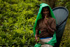 Tea Picker (alexbazar19) Tags: sri lanka srilanka portrait green tea tealeaves woman teapicker