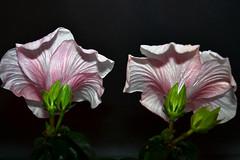 Hibiskusblüten....... (Oldtimer -2016) Tags: natur farbenpracht farbe color blüten blüte blume pflanze flora all hibiskus