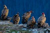 Miradas (Aitor Borruel Garate) Tags: volture buitre bird animal nature mountains forest wild free mountain blood bluehour pirineos pirineo aragon europa europe españa spain spanish food eat time evening light natural naturaleza landscape