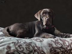 Labrador (Gelert, el eterno aprendiz) Tags: labrador posado canon fuji 7d x10 perro chocolate cachorro