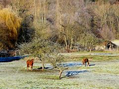 Chevaux de Lavaur (Raymonde Contensous) Tags: chevaux equidés animaux prés arbres gel neschers auvergne puydedôme nature paysage