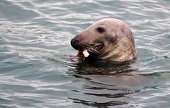 Hungry Seal. (Chris Kilpatrick) Tags: chris canon60d canon outdoor nature wildlife animal sea irishsea westcoast peel isleofman seal january springwatch