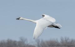 Trumpeter Swan (Ruthie Kansas) Tags: trumpeterswanswanflightkansas