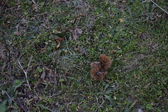 chestnut (phil_1czz) Tags: castagna chestnut riccio hedgehog bosco
