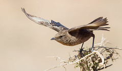 Ant-eating Chat (Myrmecocichla formicivora) (George Wilkinson) Tags: anteating chat myrmecocichlaformicivora karoo goegap nature reserve northern cape south africa wildlife canon 7d 400mm bird inflight