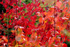 20170110_canada_trees_leaves_778h9 (isogood) Tags: monttremblant quebec canada laurentides forest indiansummer trees colors fall autumn red yellow leaves