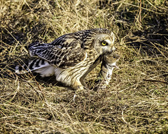 Short-Eared Owl With It's Catch...An Unfortunate Field Mouse, Western Washington (Hawg Wild Photography) Tags: shortearedowl shorteared owl owls raptor raptors bird birds of prey nature wildlife animal animals terrygreen nikon nikon600mmvr d810 hawg wild photography