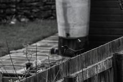 Chirp (L Turner Photography) Tags: birdy mc bird face photogoraphy wildlife british english countryside monochrome black white blackandwhite lturnerphotography zoom