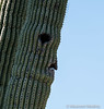 Another Bird I cannot Identify -) (Maureen Medina) Tags: maureenmedina artizenimages funny face saguaro cactus desert sonoran arizona pareidolia